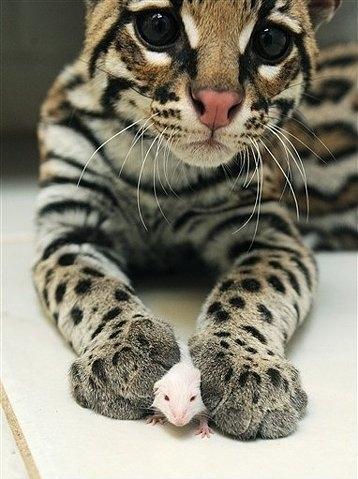 Obrazek Kot Cute Mysz Zwierząt Kotów Ocelot Zdjęcia I