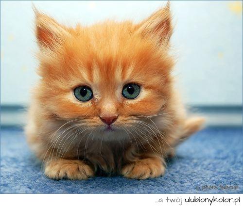 Obrazek Kot Koteczek Zwierze Niebieskie Oczy Rudy Kot