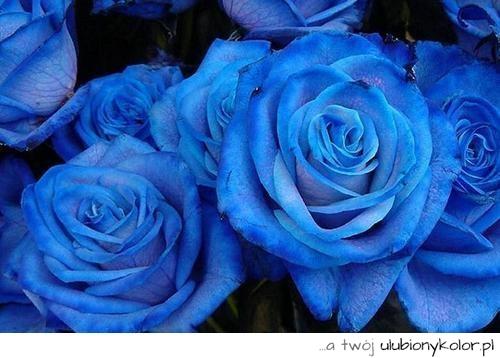 7f1cc204e375cb obrazek, kwiaty, niebieskie, róże - zdjęcia i obrazki na ...